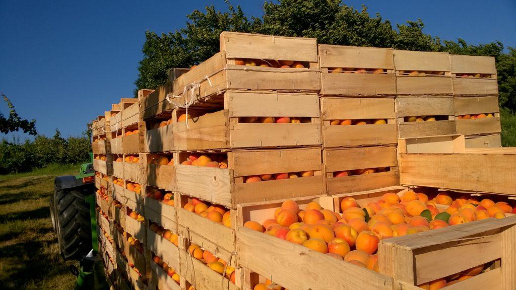caisses-remorque-abricots