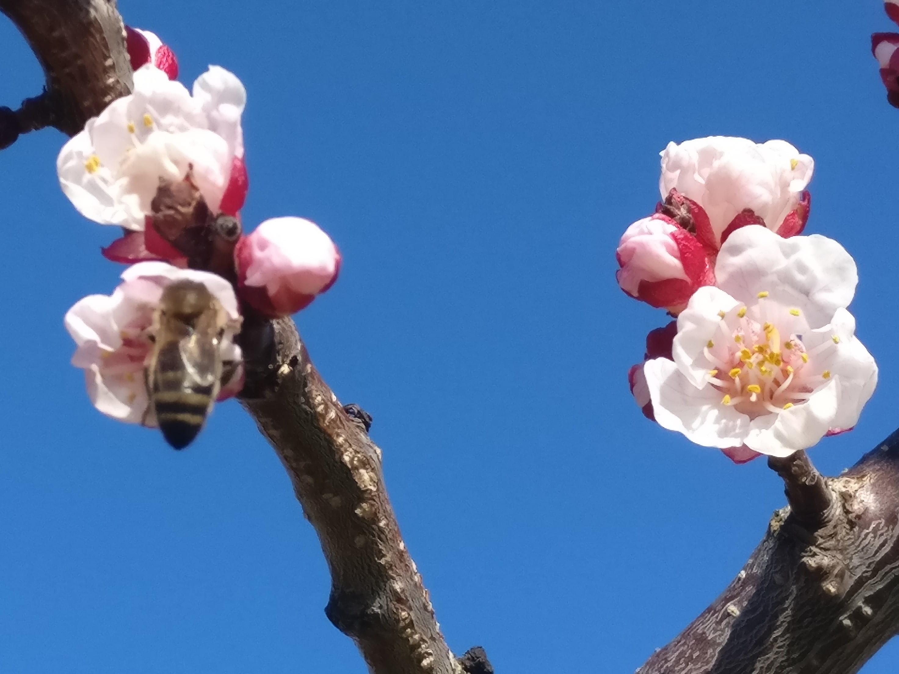 verger-biodiversite-abeille