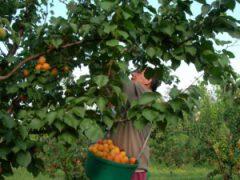 cueillette à la main d'abricot