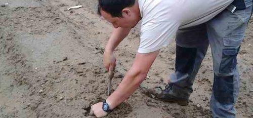 récolte asperge