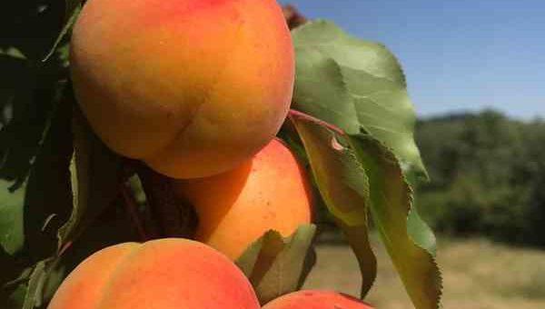 Vente directe Abricots annulée
