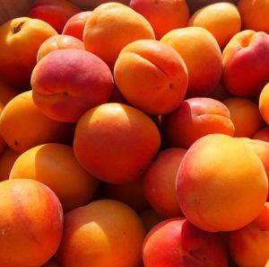 Start de l'été, les abricots sont ramassés à maturité.