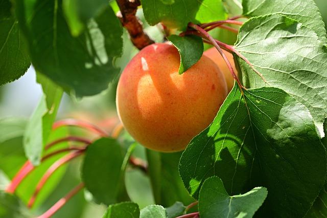 abricot mature