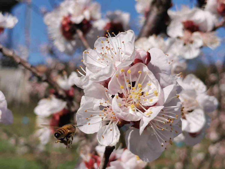 abeille fleurs d'abricotier